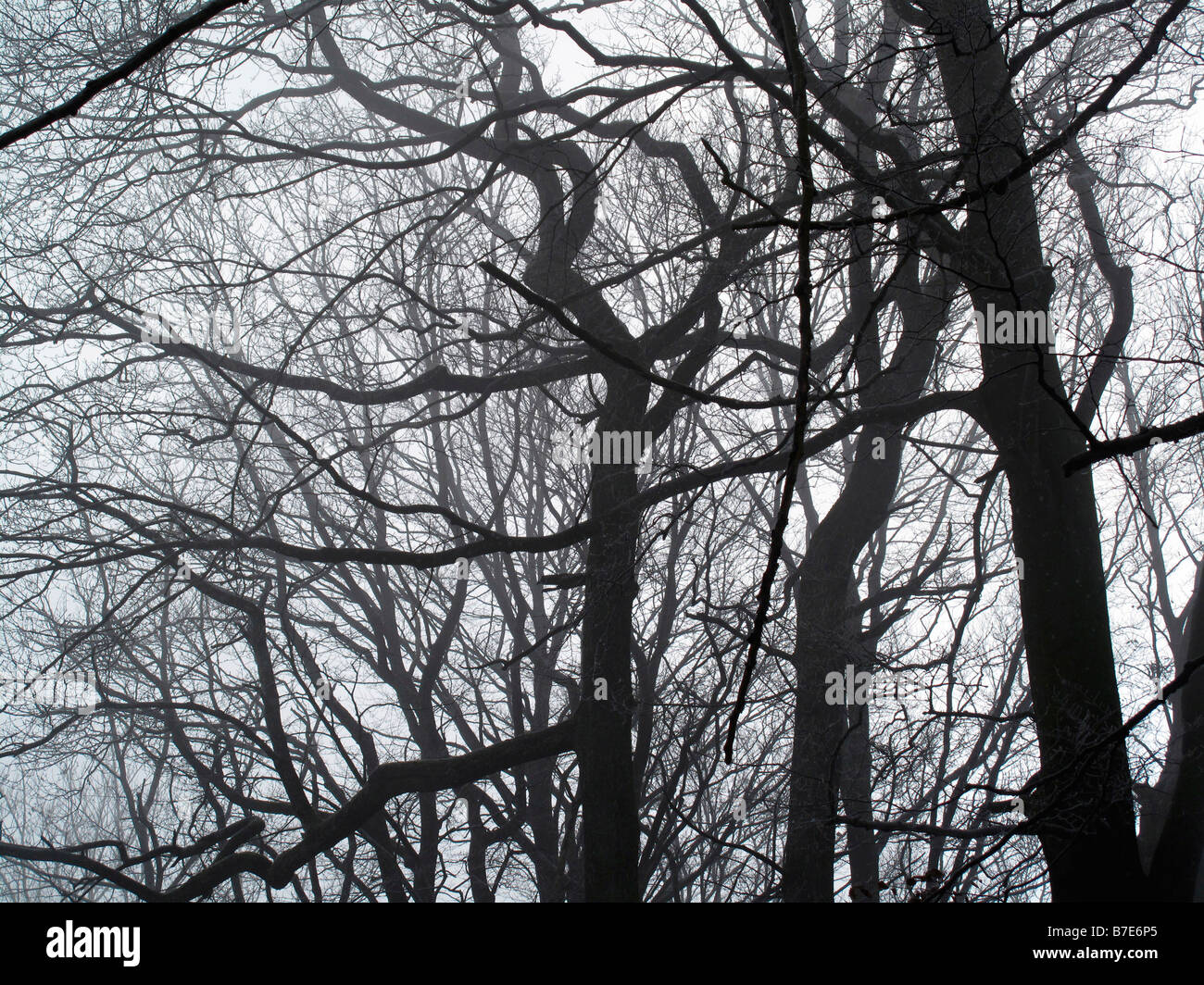 foggy trees canton of zurich switzerland - Stock Image