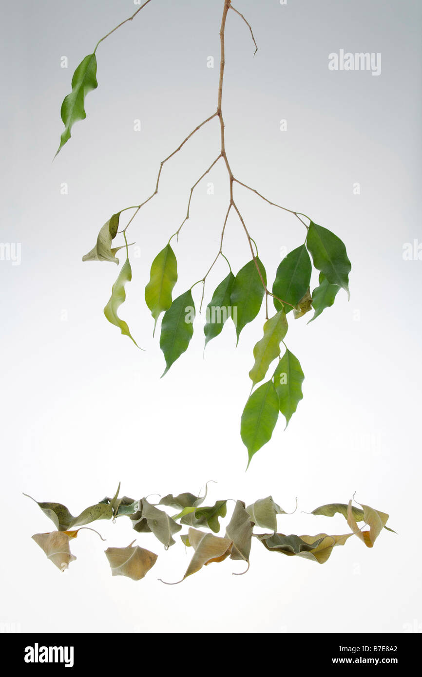 clip image drying leaves of potted fig tree Ficus benjaminii symbolism of green thumb or green fingers - Stock Image