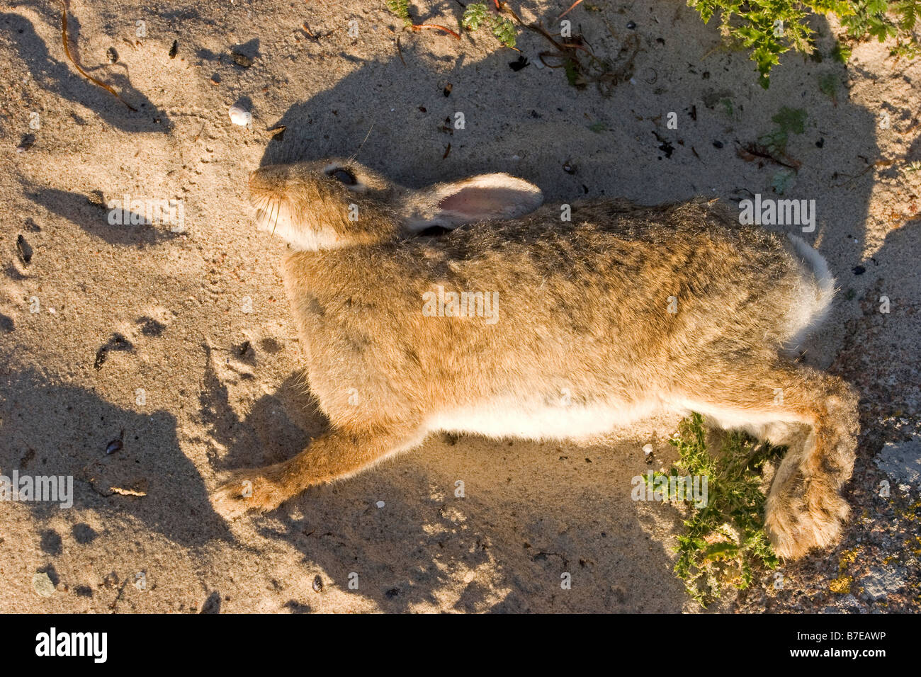 Dead rabbit - Stock Image