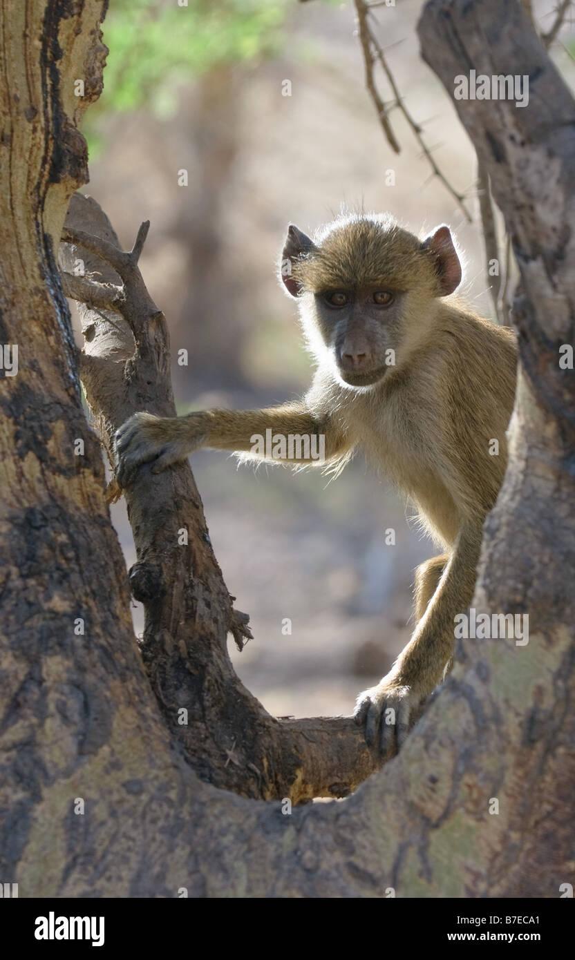 young baboon amboseli national park kenya - Stock Image