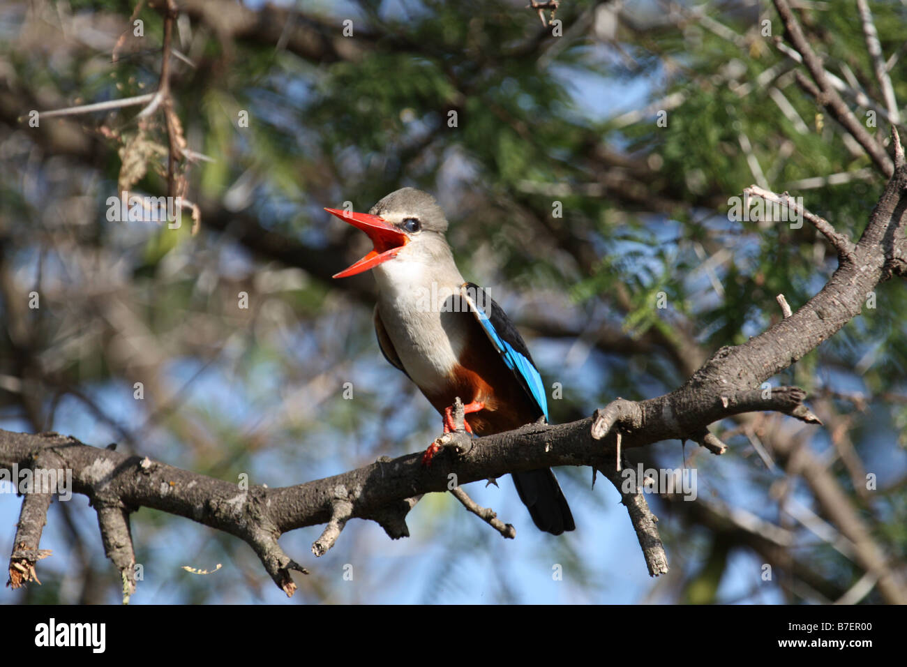 Brown-hooded Kingfisher (Halcyon albiventris - Stock Image