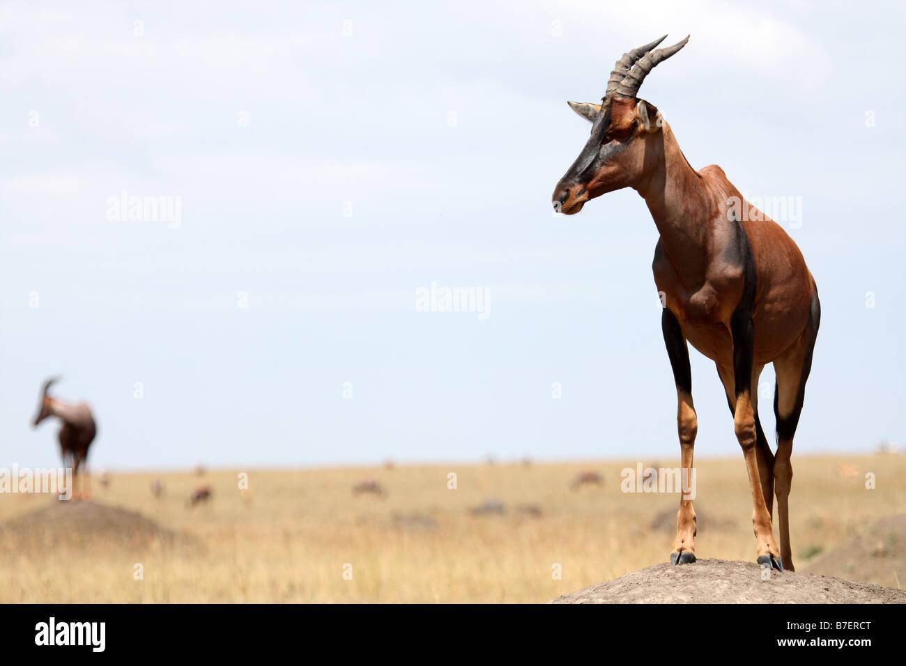 Topi on a termite mound masai mara kenya - Stock Image