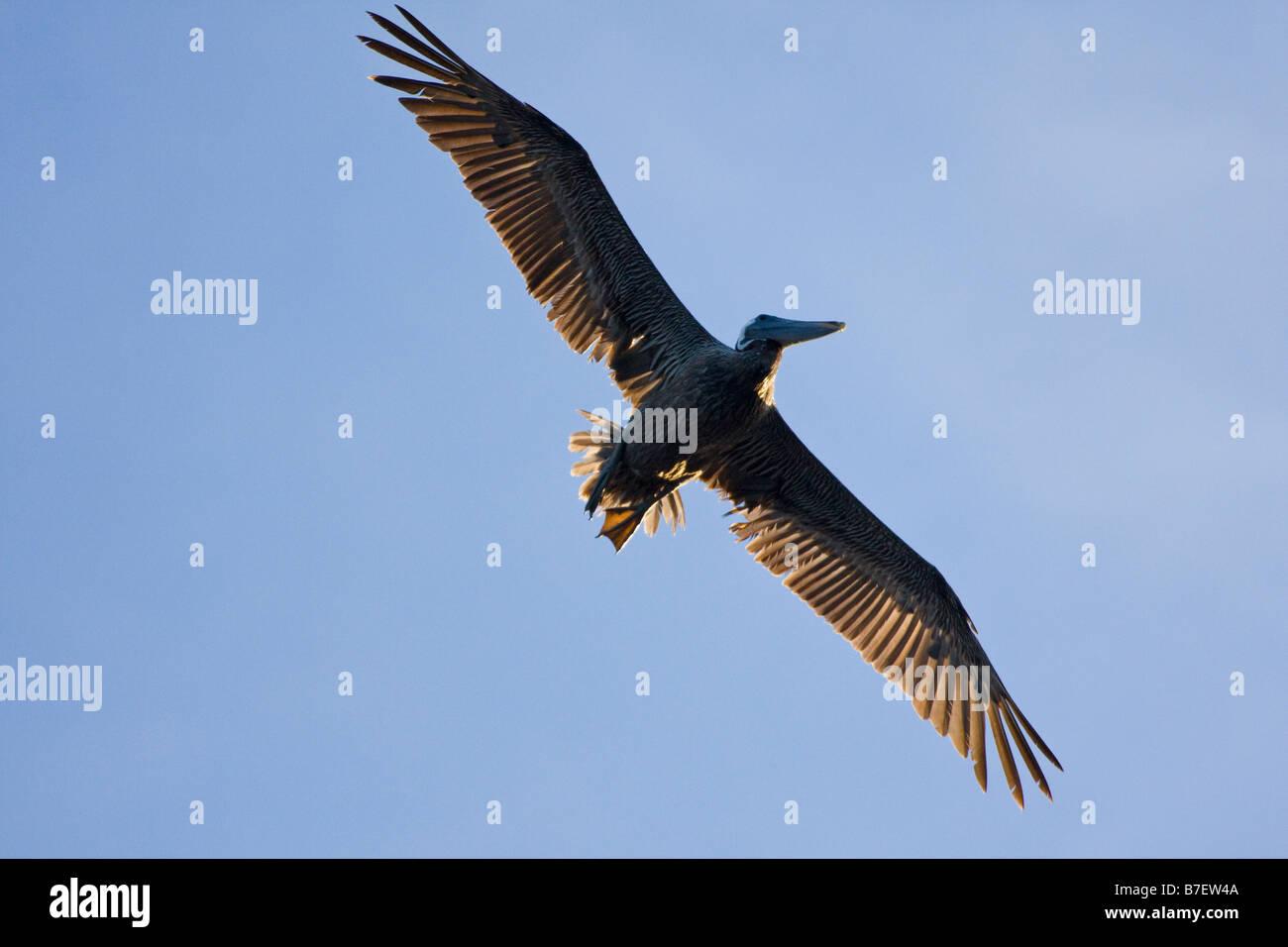 Brown Pelican (Pelecanus occidentalis) soars high in sky searching for shoal of fish - Stock Image