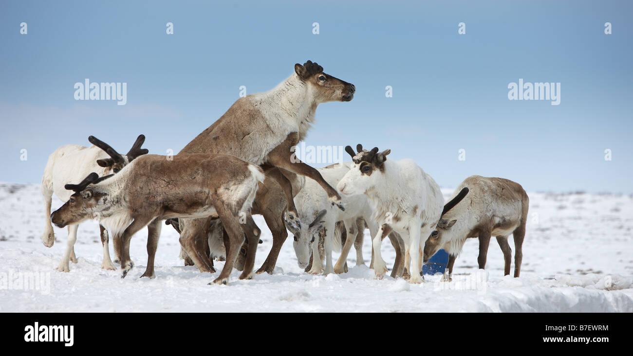 Reindeer herd, Kanchalan located in the Chukot Autonomous Region, Siberia Russia - Stock Image