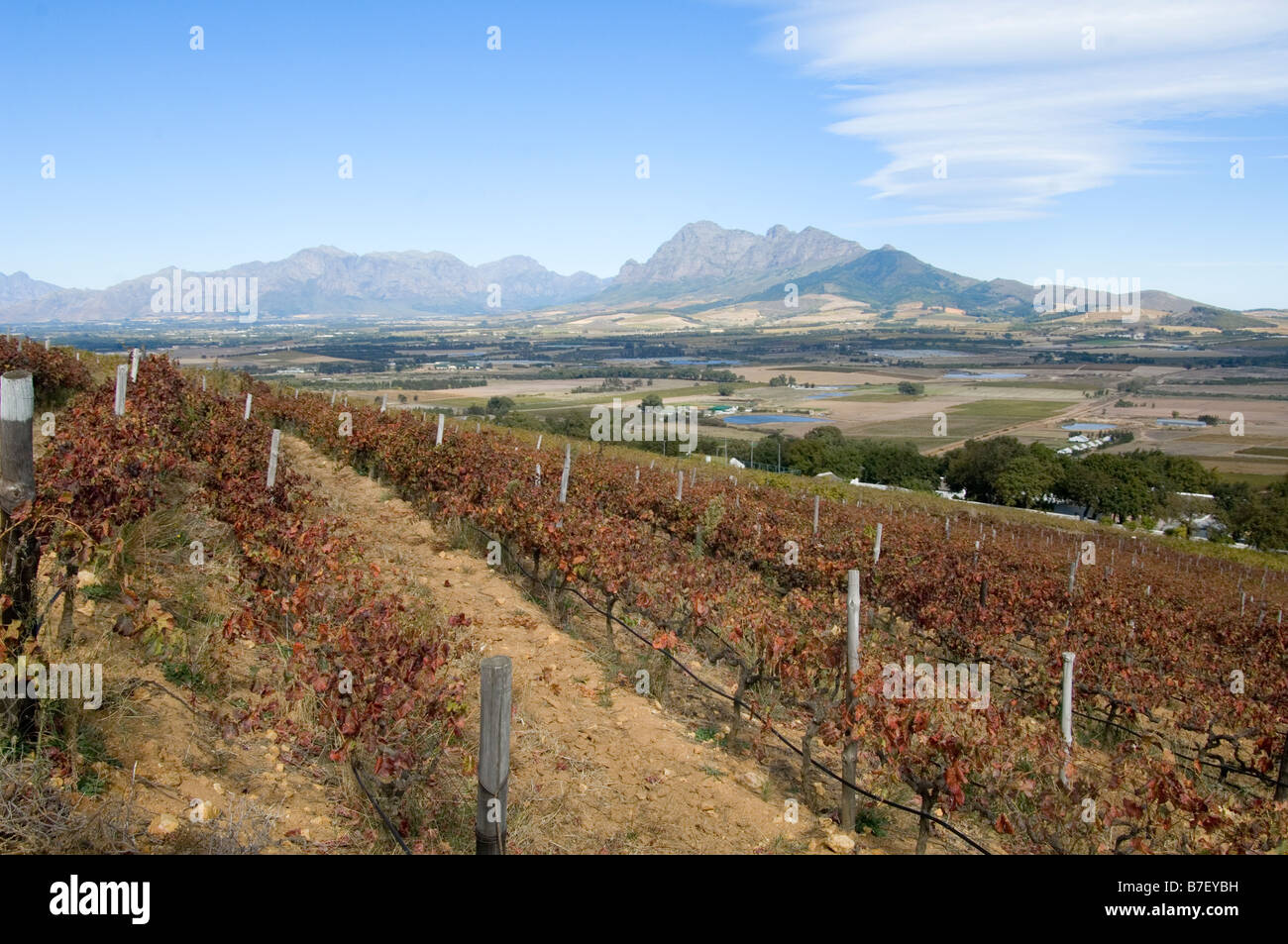 Vineyard on the Fairview estate Paarl Western Cape South Africa - Stock Image