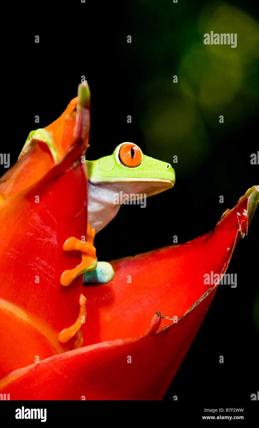Red eyed tree frog (agalychnis callidryas) in Costa Rica Stock Photo