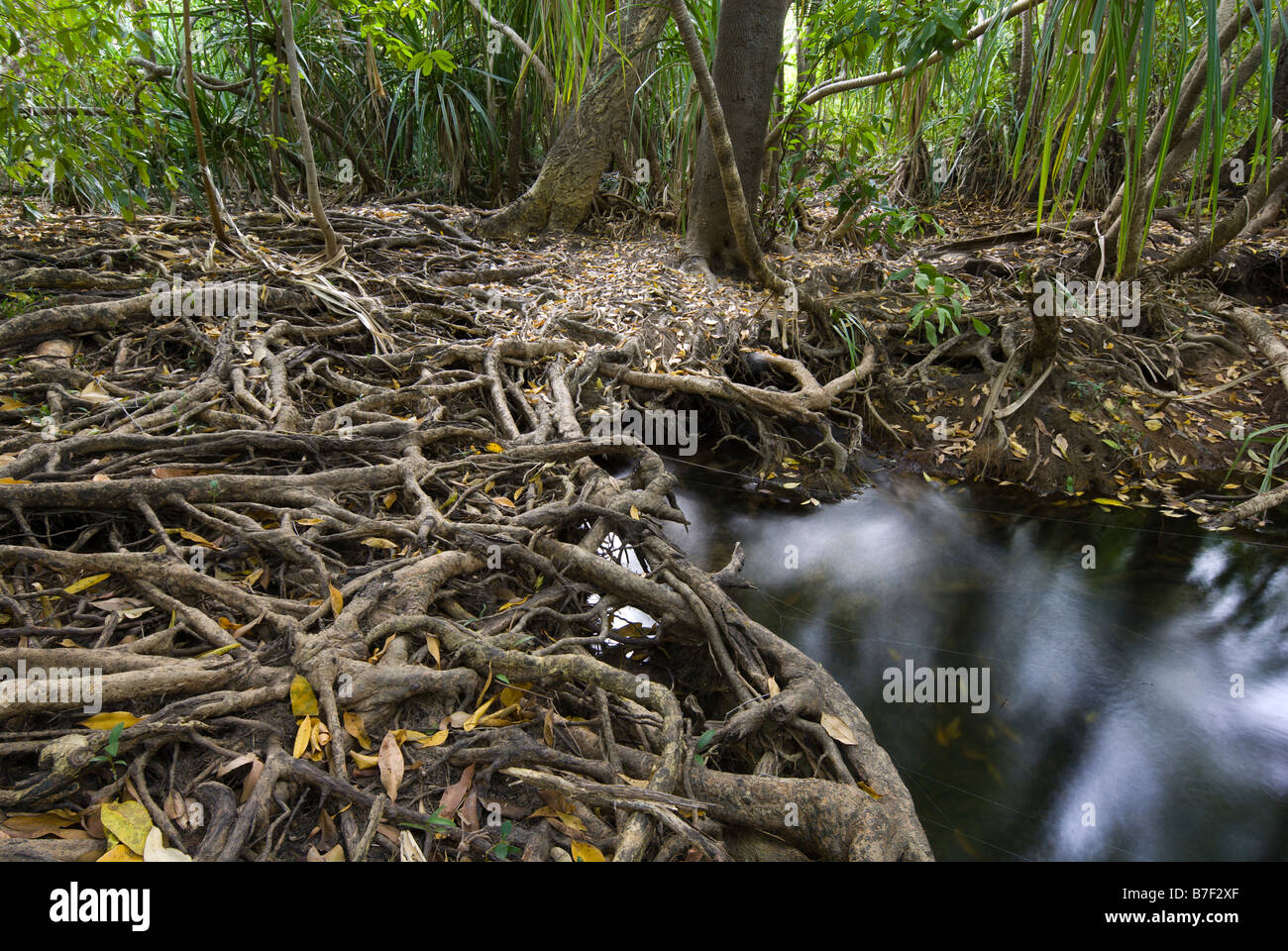 Roots exposed at the start of the dry season in monsoon forests near Gunlom in Kakadu National Park - Stock Image