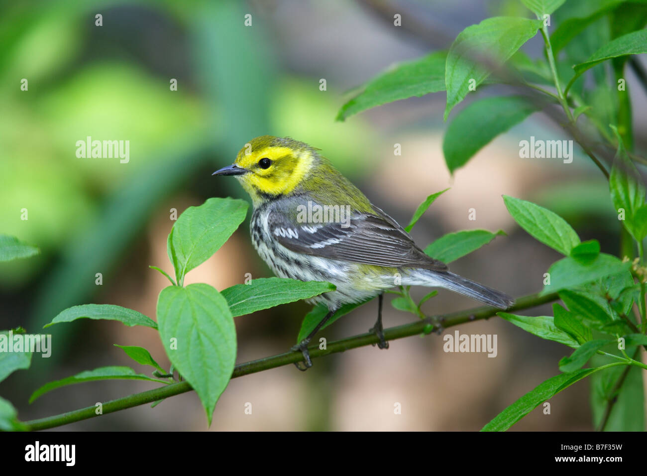 Black throated Green Warbler Dendroica virens virens Stock Photo