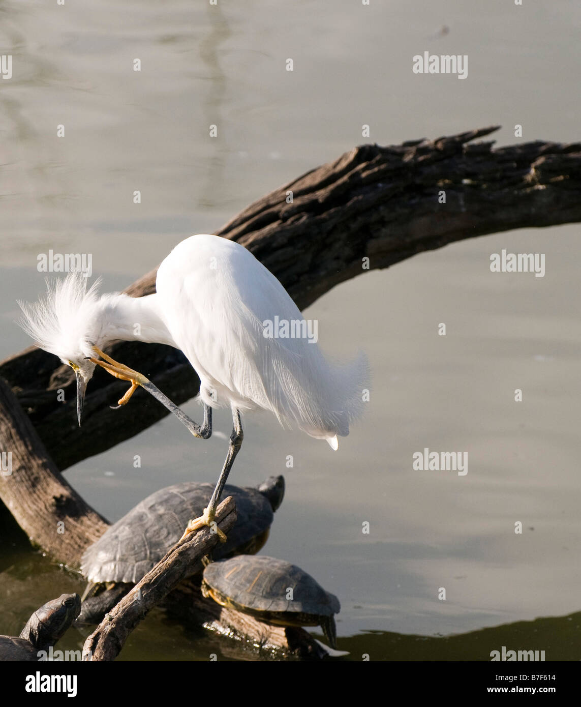 An egret sprucing up amidst a large number of turtles - Stock Image