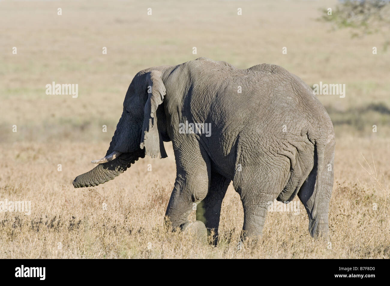 African elephant with amputated trunk tip. The animal learnt to feed and life with a limited functioning trunk Serengeti - Stock Image