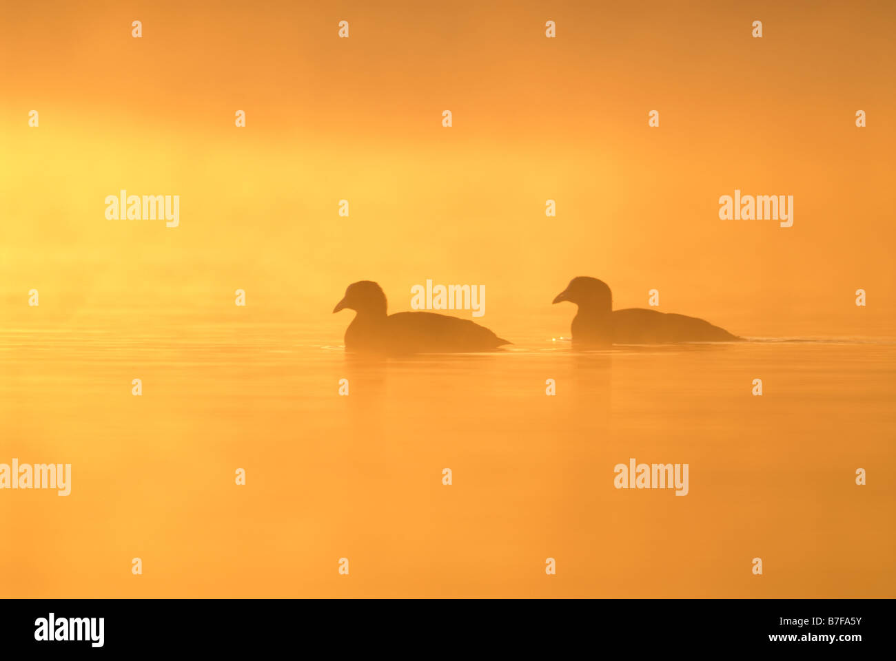 Coots Bucephala clangula silhouetted at sunrise with mist rising from lake Ellesmere Lake Shropshire England October Stock Photo