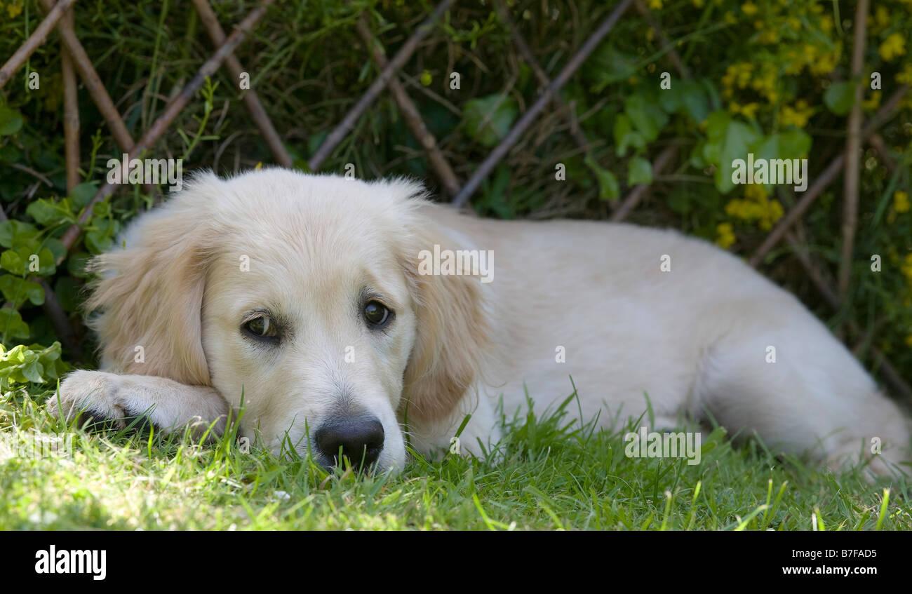 Buster Golden Retriever Male Puppy 3 Months Old Yorkbeach