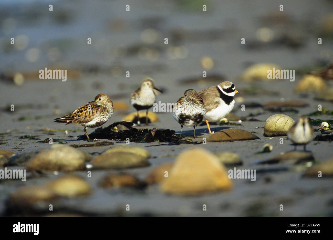 Dunlin Calidris alpina and ringed plover Charadrius hiaticula resting on foreshore Islay Inner Hebrides Argyll and - Stock Image