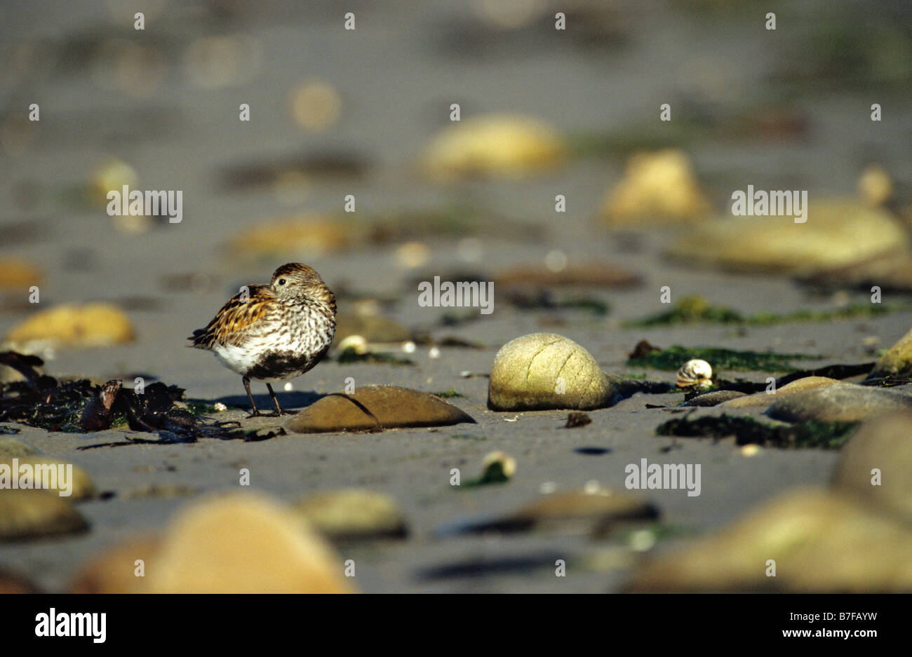 Dunlin Calidris alpina resting on foreshore Islay Inner Hebrides Argyll and Bute June - Stock Image