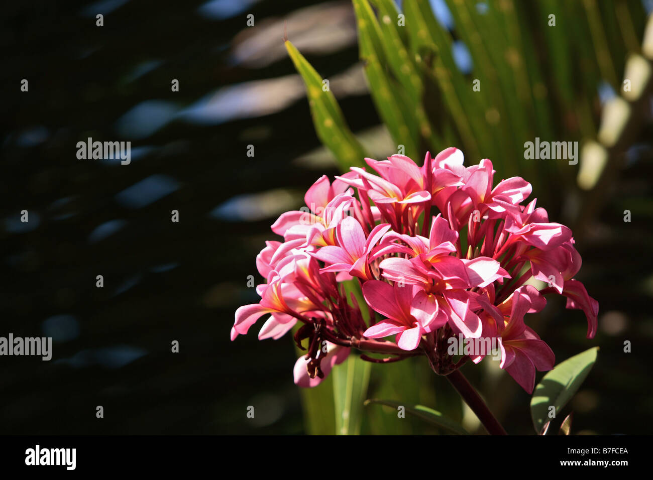 Pink Cluster Of Tropical Flowers Stock Photo 21852050 Alamy