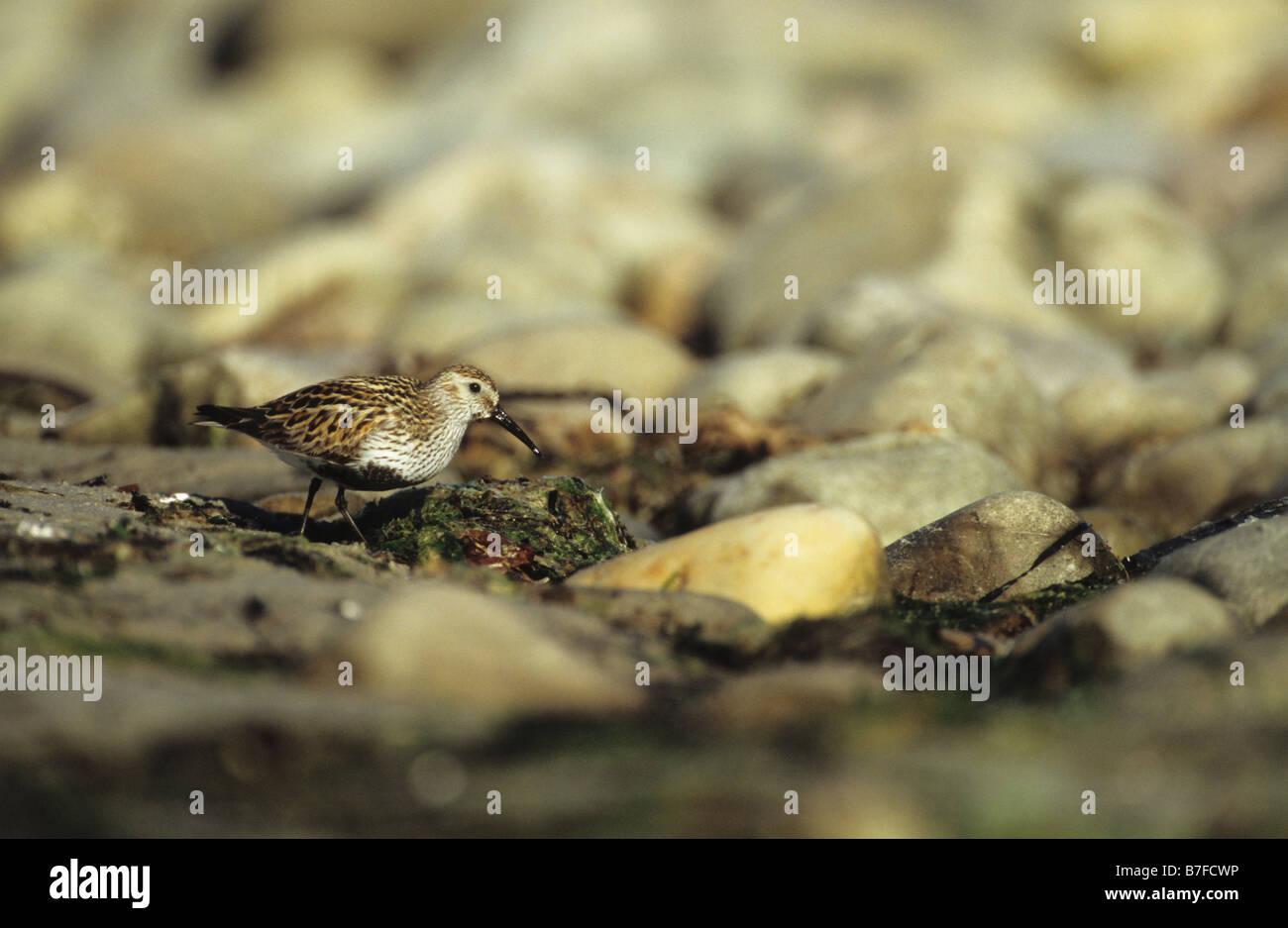 Dunlin Calidris alpina foraging along seashore Islay Inner Hebrides Argyll and Bute Scotland June - Stock Image
