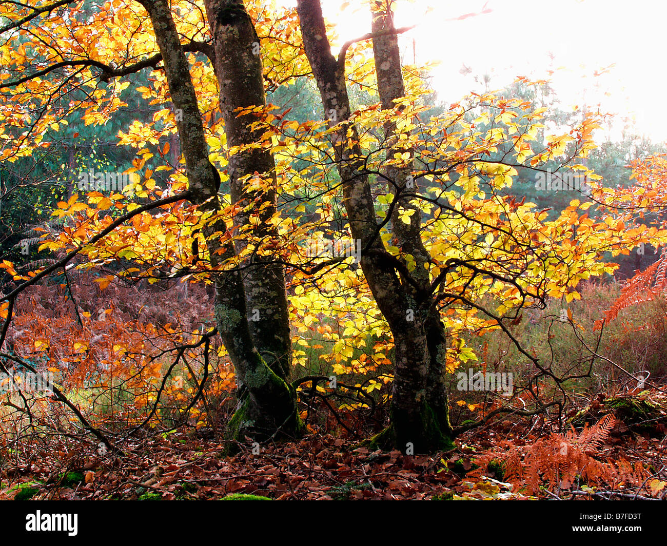 La futaie Colbert en forêt de Tronçais en automne Allier 03 Autumn Auvergne Bad season Bad seasons Botanical - Stock Image
