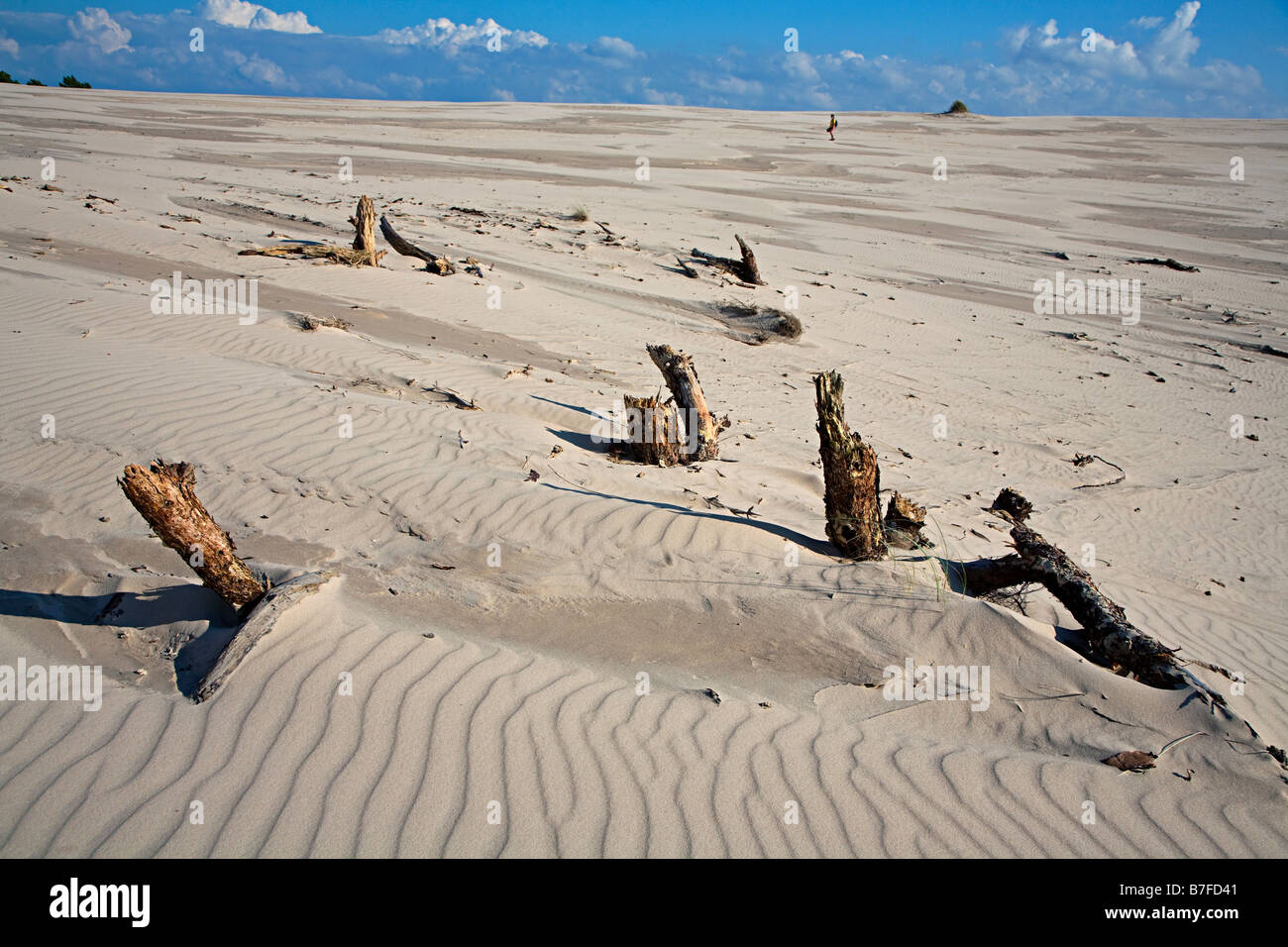 Dead tree stumps eroded from sand dunes with hiker in distance Wydma Czolpinska dune Slowinski national park Poland - Stock Image