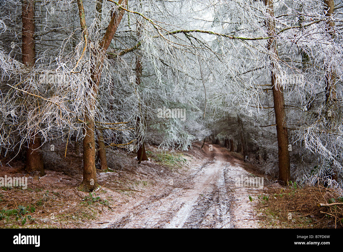 Track through coniferous woods in winter with trees covered in thick frost Wales UK - Stock Image