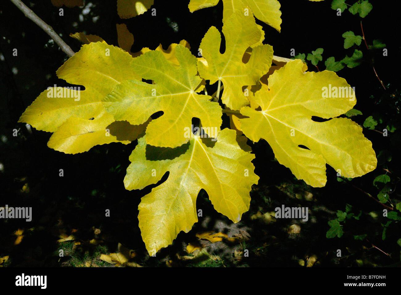 figuer Common Fig Ficus carica ARBRE FLORE MORACEAE FRUIT EUROPE FIGUE FIGUIER Stock Photo