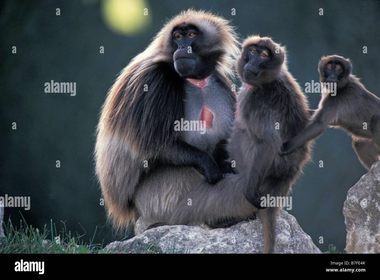Gelada Baboon Theropithecus gelada Male and female animal animals baboon baboons Cercopithecidae endotherm endothermic - Stock Image