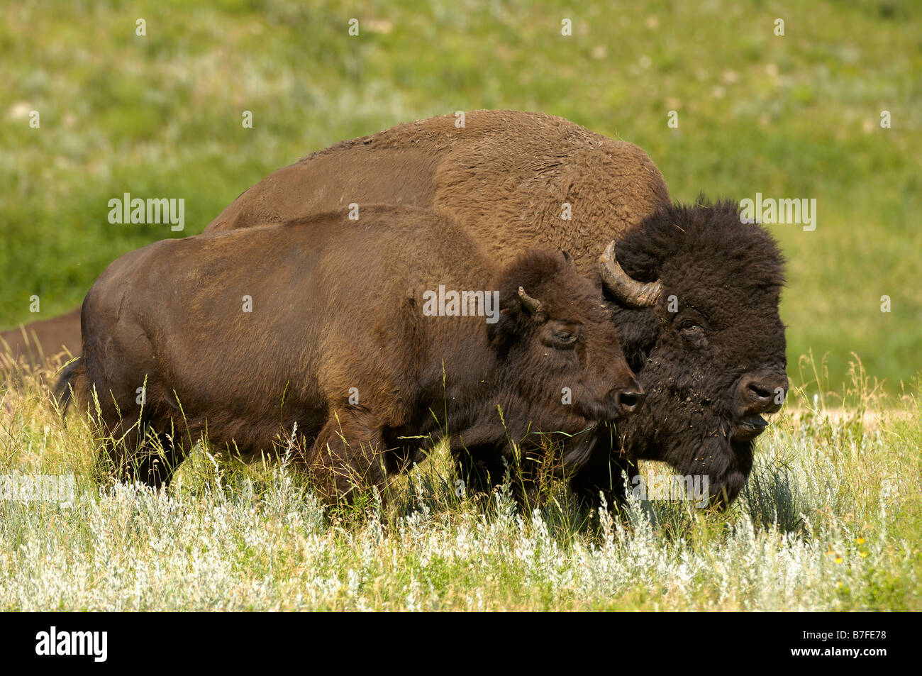 A pair of Bison on the Northern Plains - Stock Image