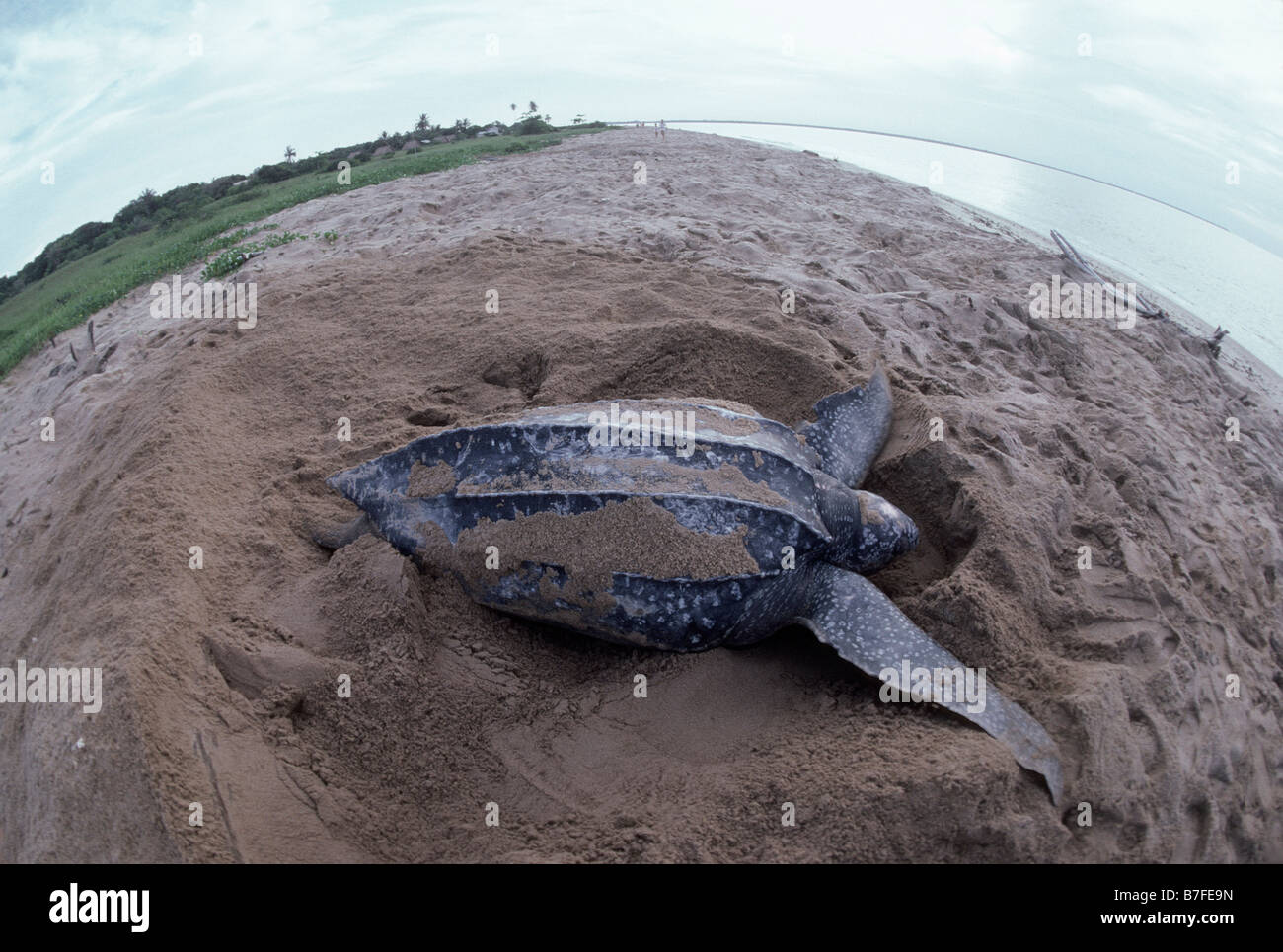 tortue luth Leatherback laying on the beach of Hattes Dermochelys coriacea America Behavior Behaviors Biodiversities - Stock Image