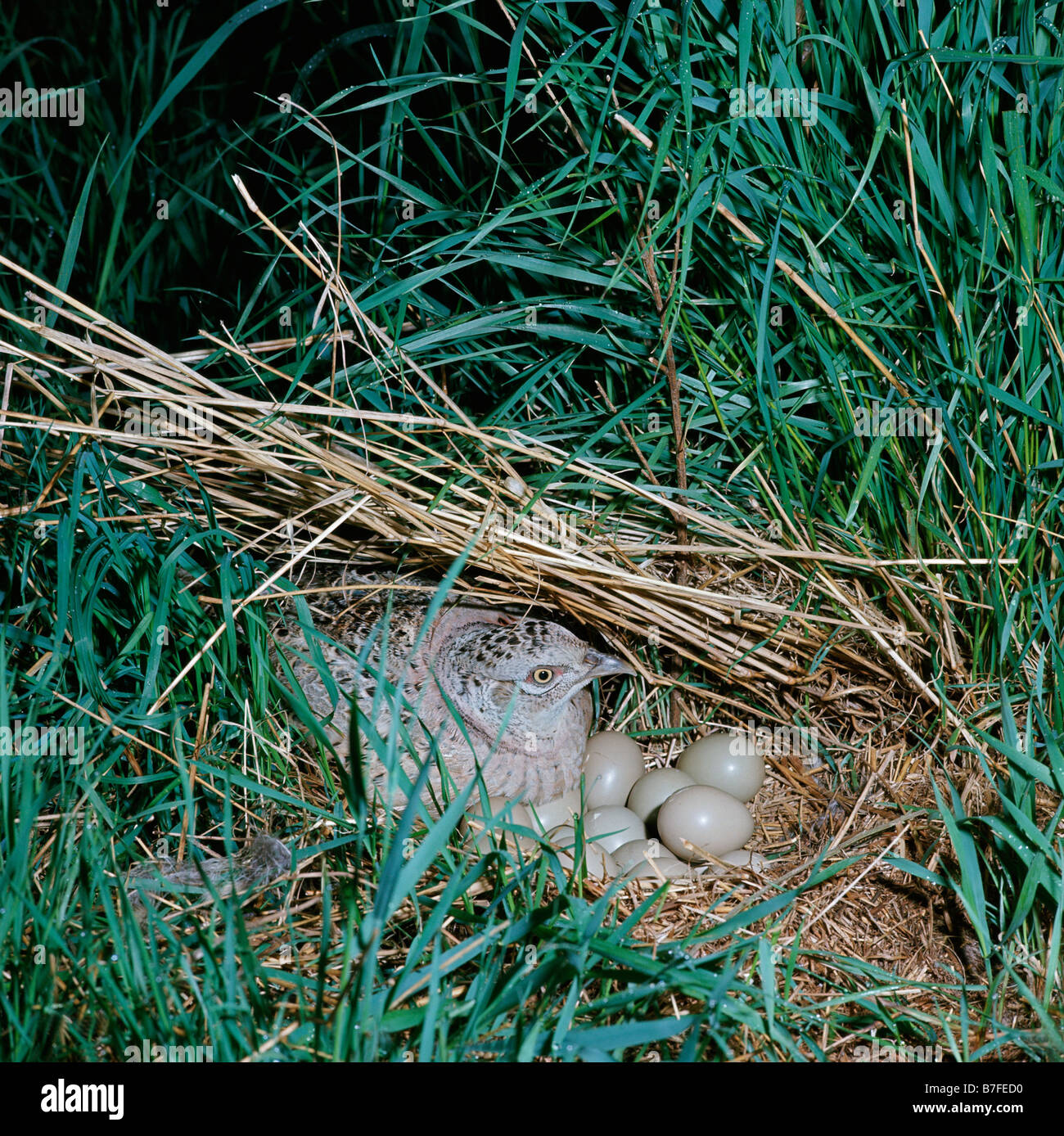 faisan Pheasant Phasianus colchicus nesting eggs profiles separate separately shots side sidewise single singly - Stock Image