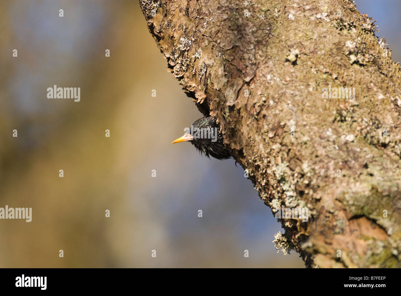 Adult starling Sturnus vulgaris about to leave nest hole in tree South Lanarkshire Scotland April - Stock Image
