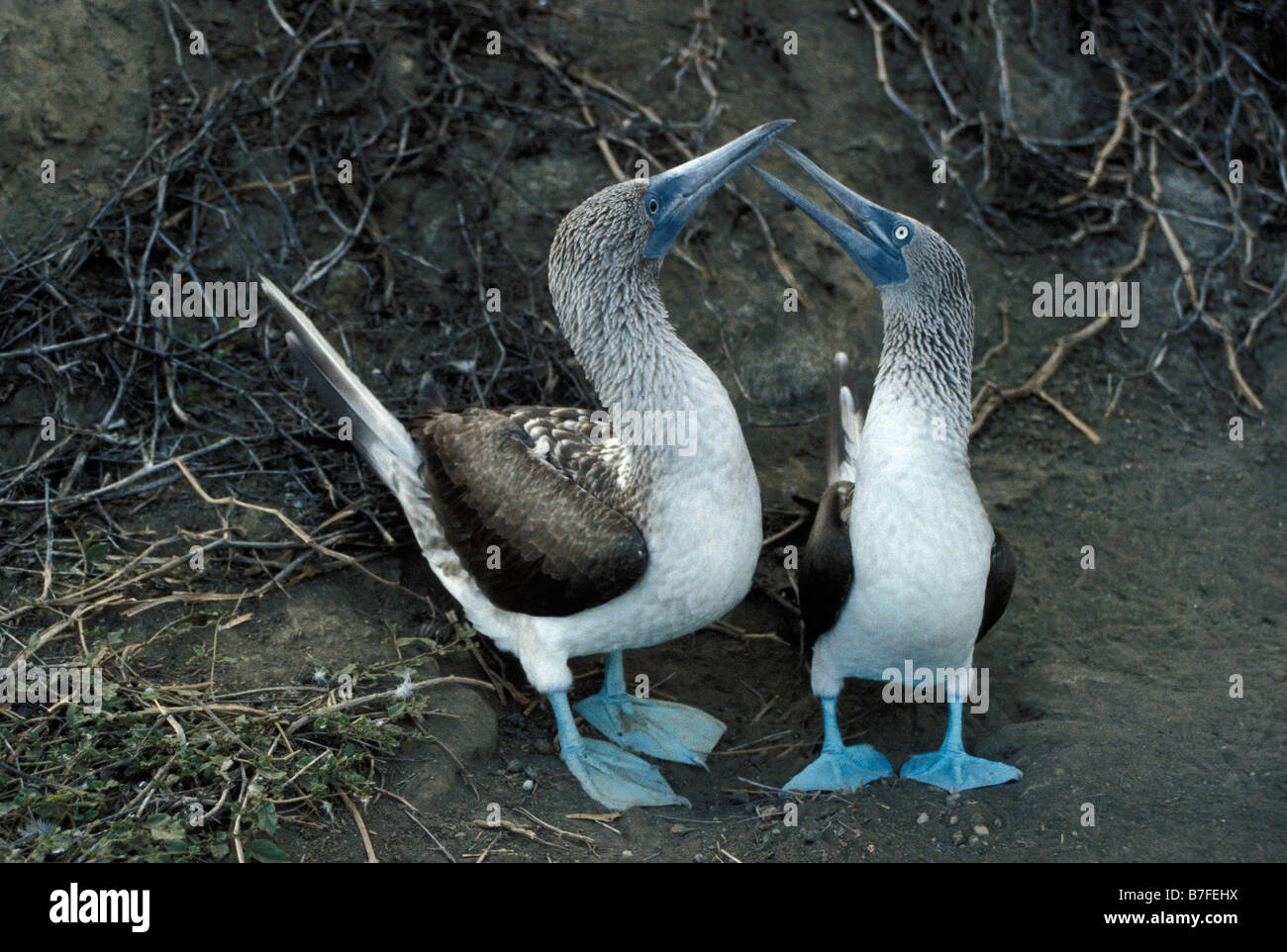 fou a pieds bleu Blue footed Boody in courtship behaviour Galapagos Adult Adults Alone Archipiélago de Colón - Stock Image