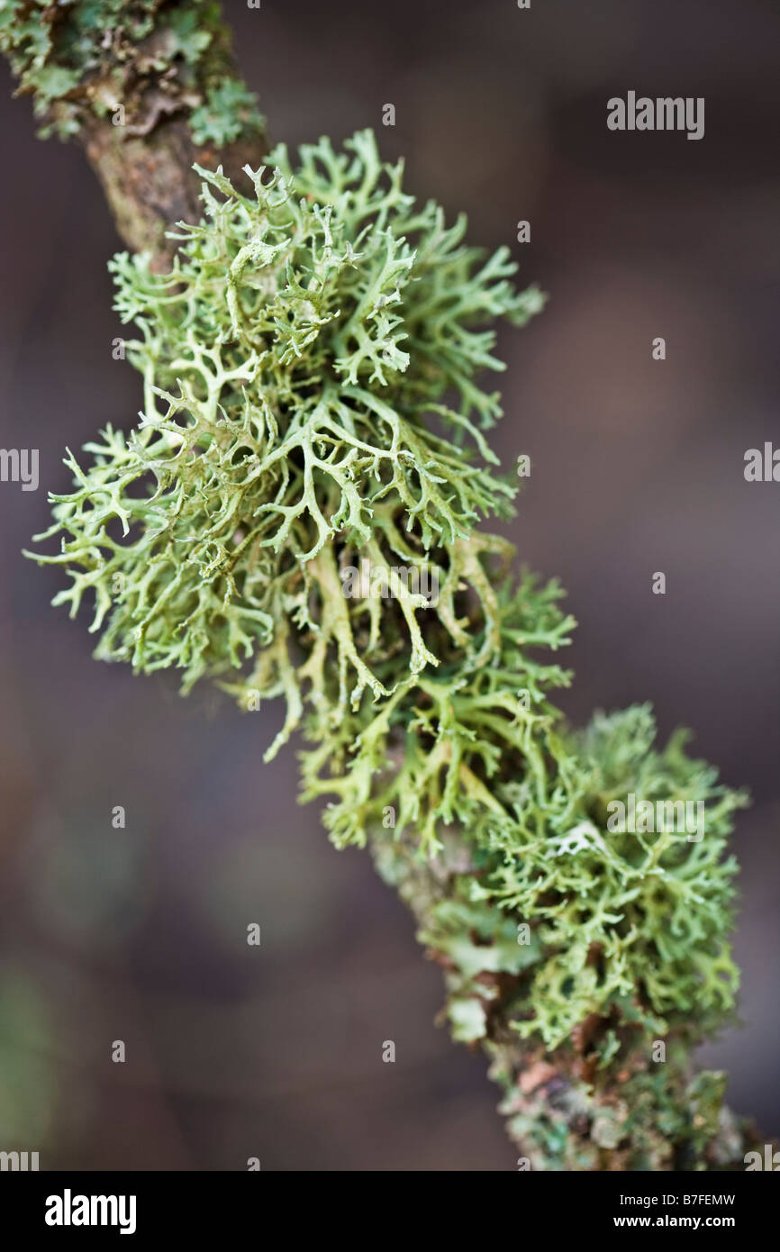Lichen growing on the branch of a tree - Stock Image