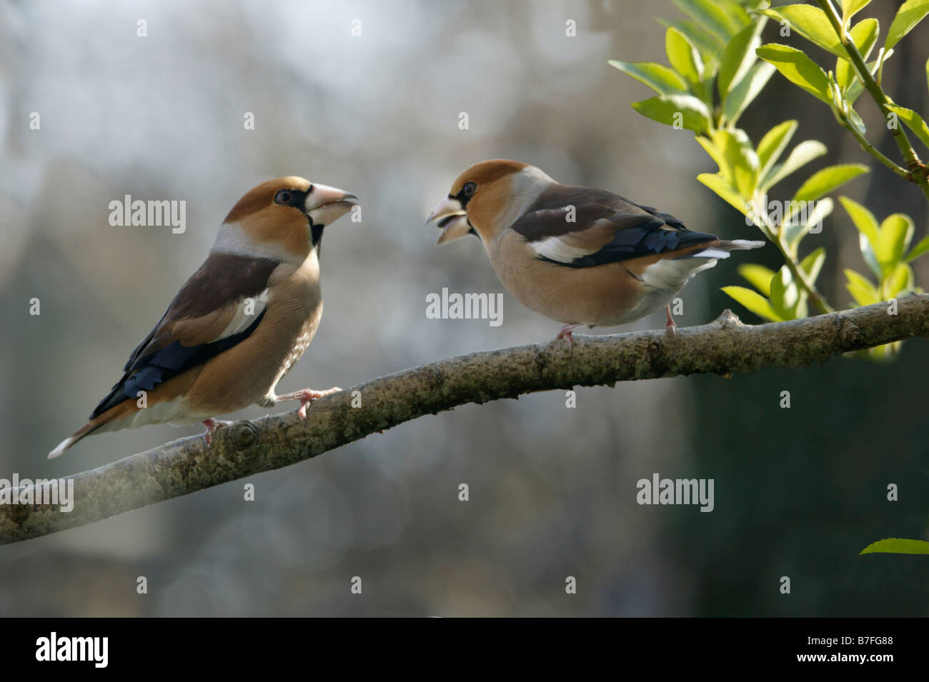gros bec Kernbeisser Hawfinch Coccothraustes coccothraustes perched on a twig in winter animals Aves birds Europa - Stock Image