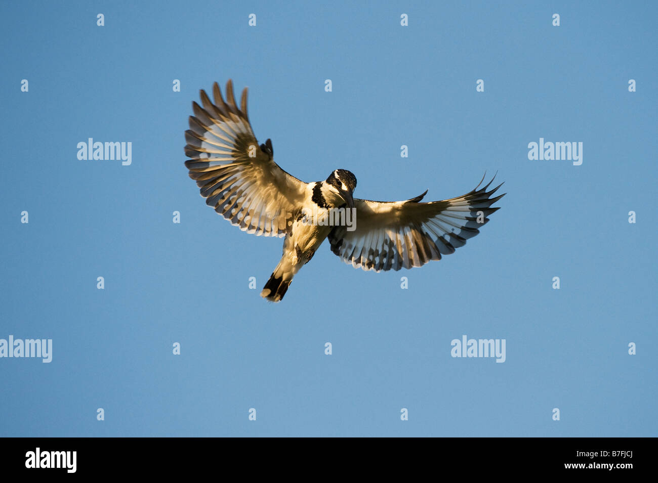 Ceryle rudis. Female Pied Kingfisher hovering above water in the Indian countryside. Andhra Pradesh, India - Stock Image