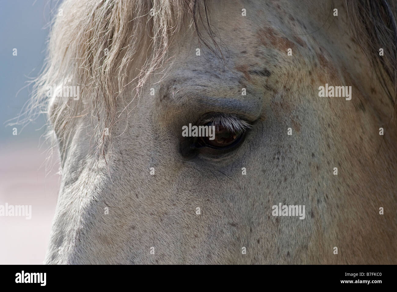 Horse, Andalusian - Stock Image