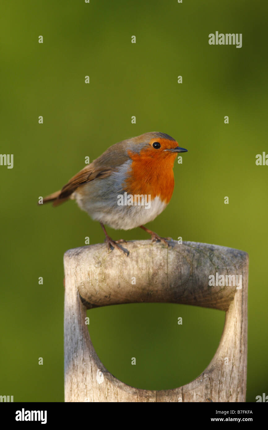 erithacus rubecula ROBIN PERCHING ON FORK HANDLE - Stock Image