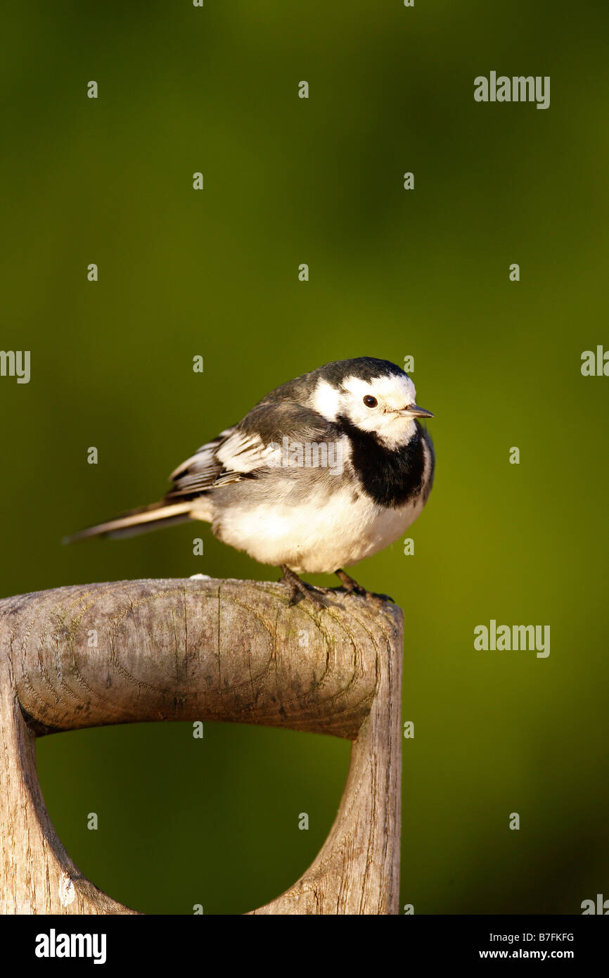motacilla alba pied wagtail perching on fork handle - Stock Image