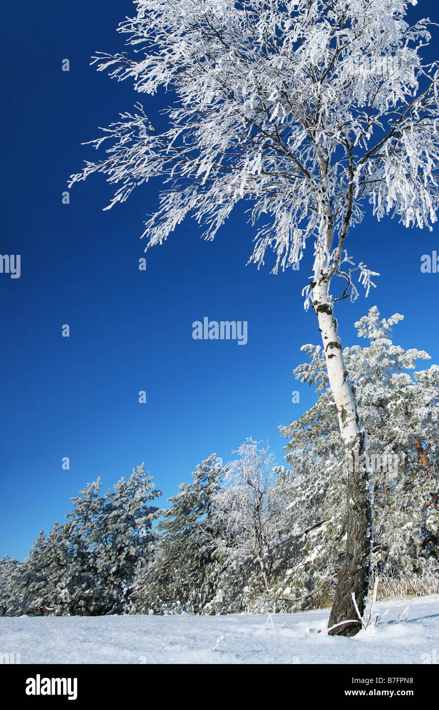 A birch is in a hoarfrost - Stock Image