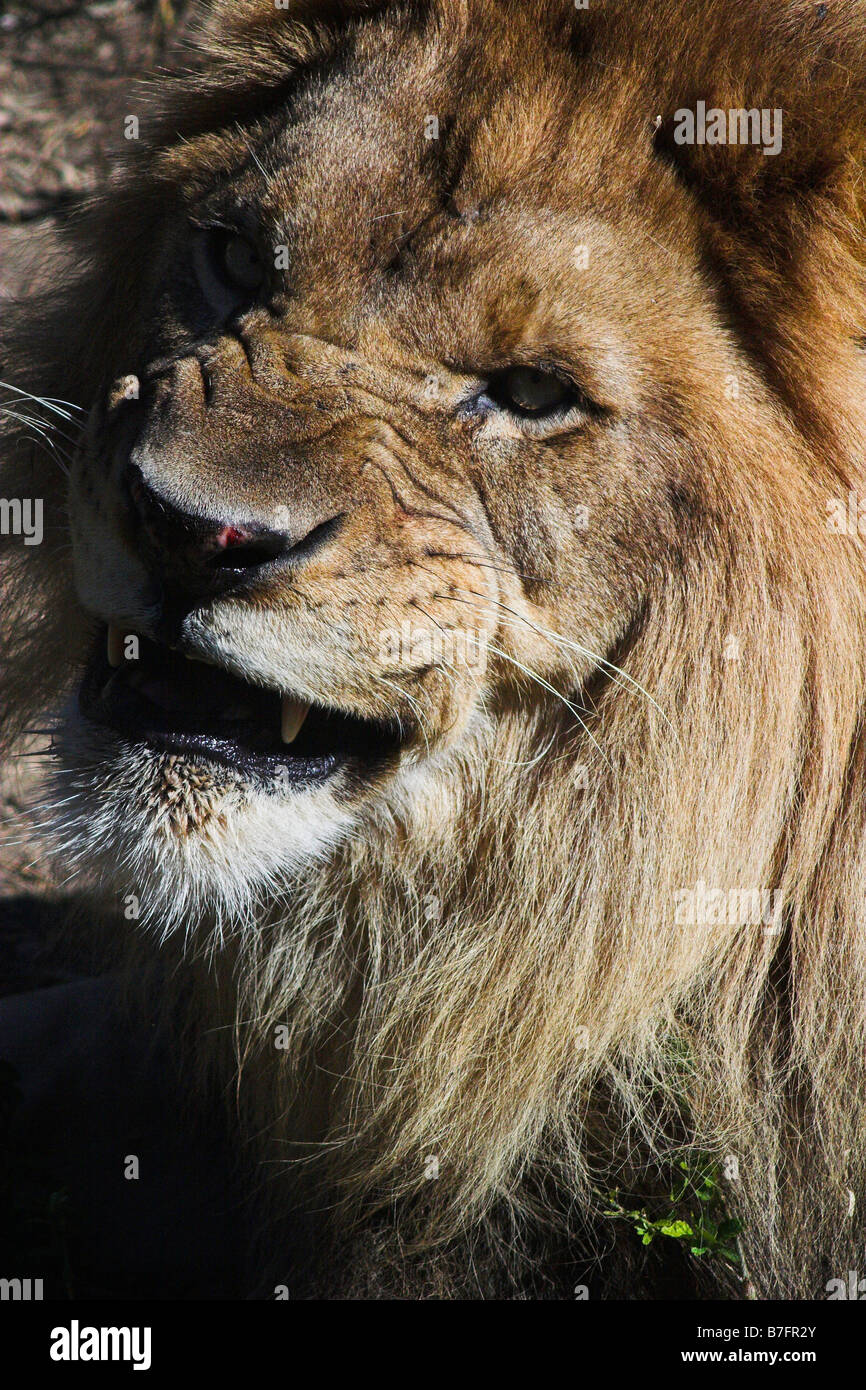 A lion snarls at the New Orleans Audubon Zoo. - Stock Image