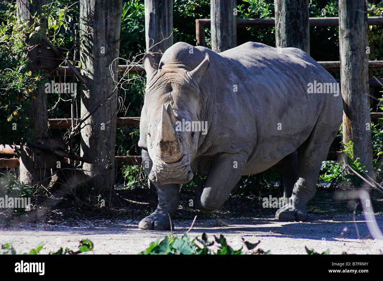 A rhinoceros charges about at the Audubon Zoo in New Orleans, Louisiana. - Stock Image
