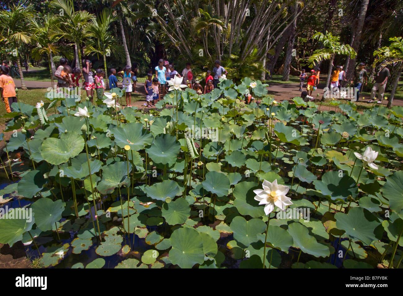 Mauritius africa nymphea lotus flower tank in sir seewoosagur stock mauritius africa nymphea lotus flower tank in sir seewoosagur ramgoolam royal botanical garden of pamplemousses school class mau mightylinksfo