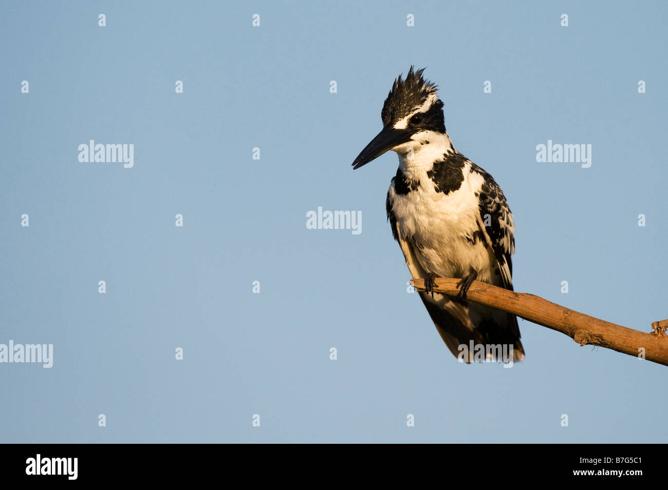 Ceryle rudis. Female Pied Kingfisher perched on a stick over a water well in the indian countryside. Andhra Pradesh, - Stock Image