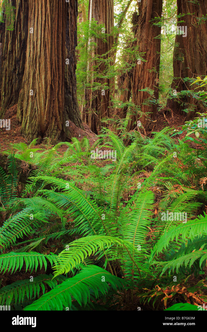 Redwoods and sword ferns in Redwood National Park, California - Stock Image