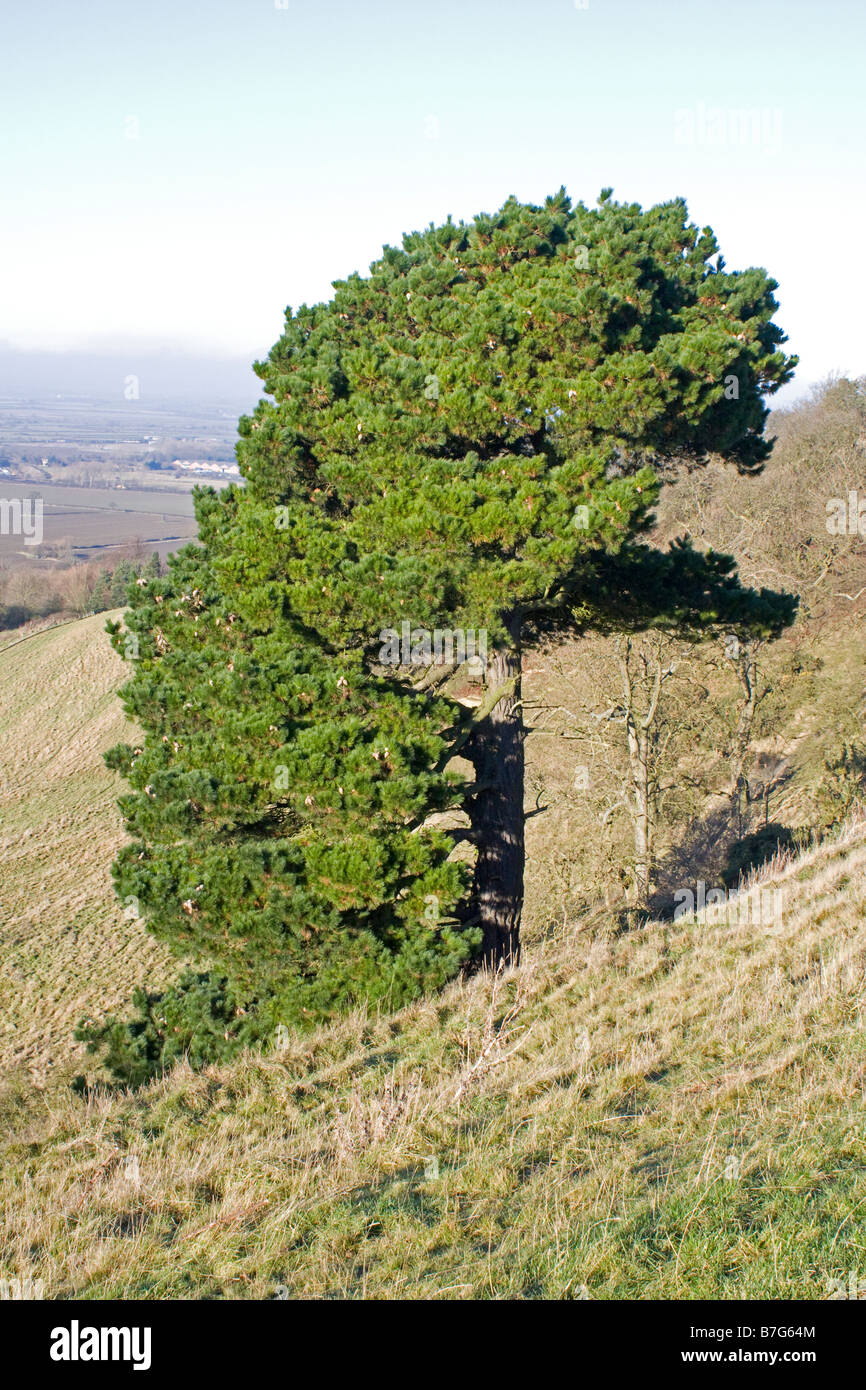 View of shaped tree on Meon Hill Cotswolds UK - Stock Image