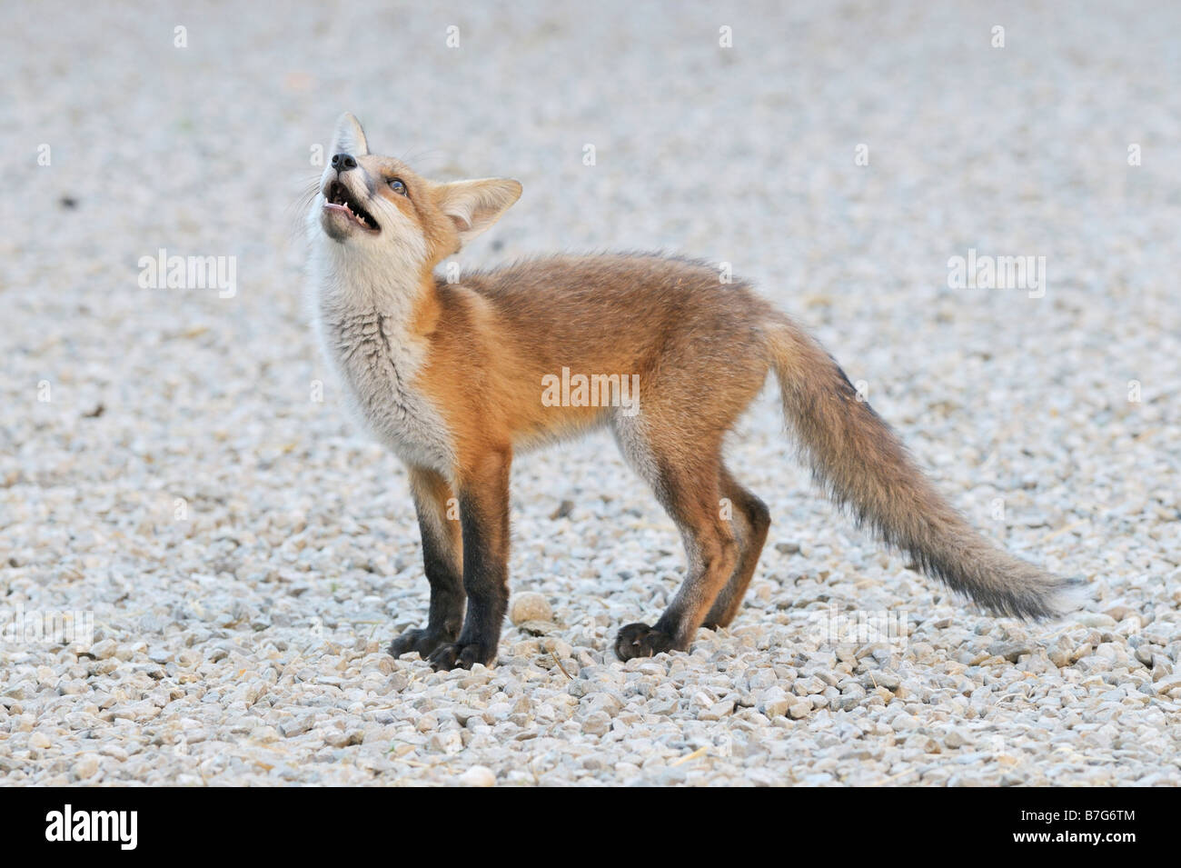 Two months old tamed fox Stock Photo