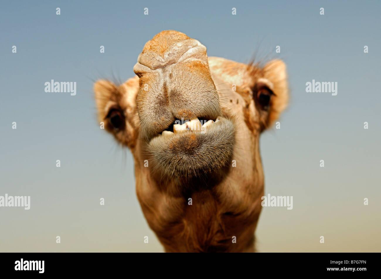 Portrait of a snarling camel, Dubai, United Arab Emirates - Stock Image