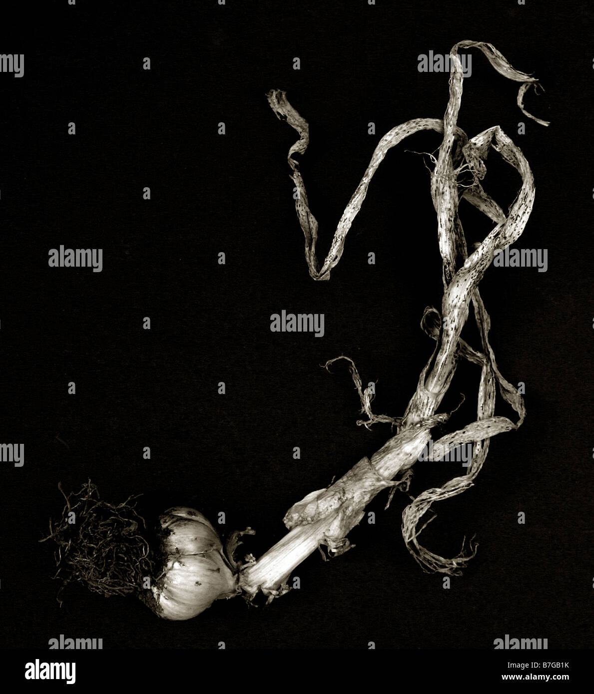 garlic plant shot in the studio against black - Stock Image