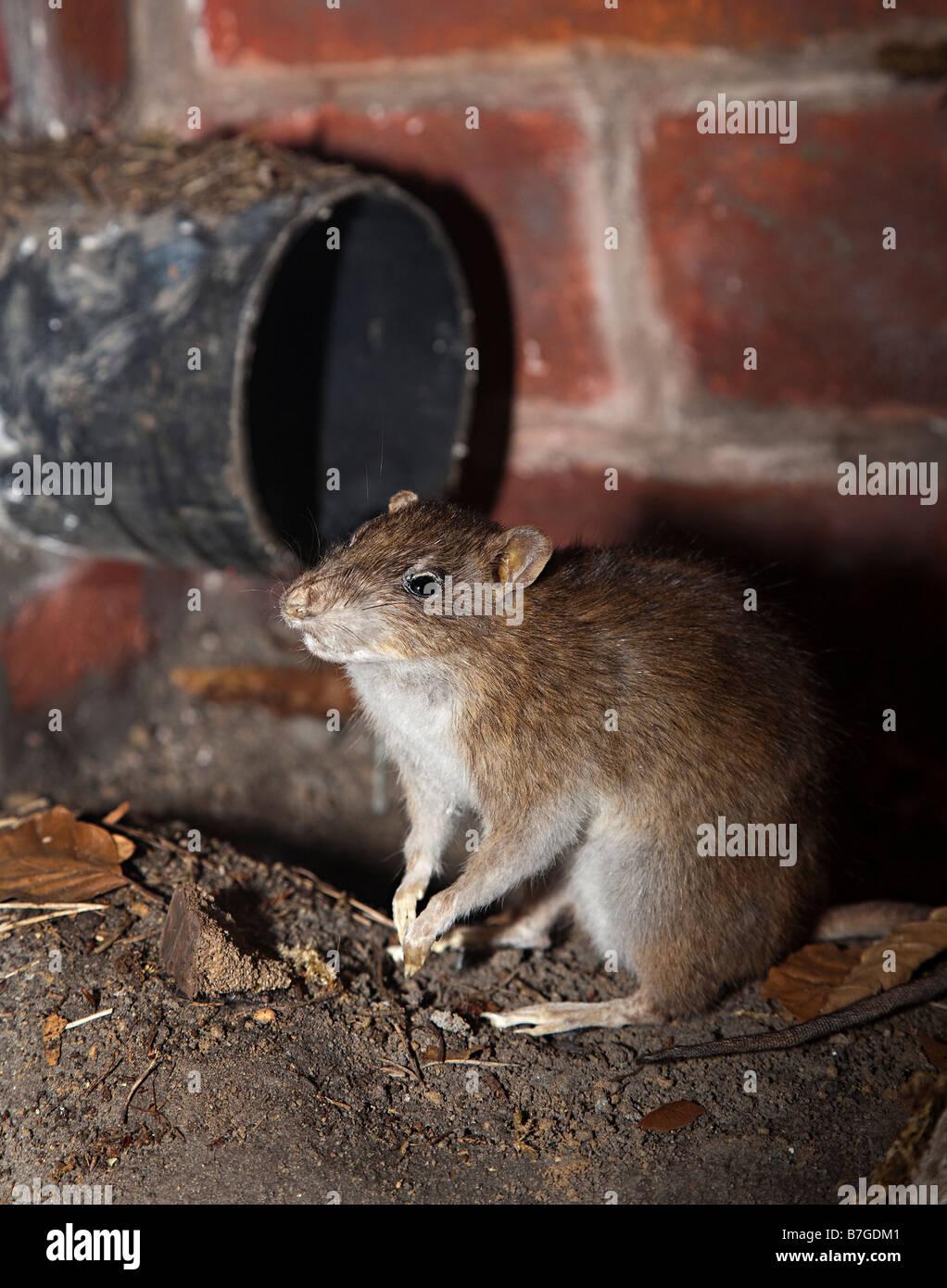 Brown rat Rattus norvegicus and pipe - Stock Image