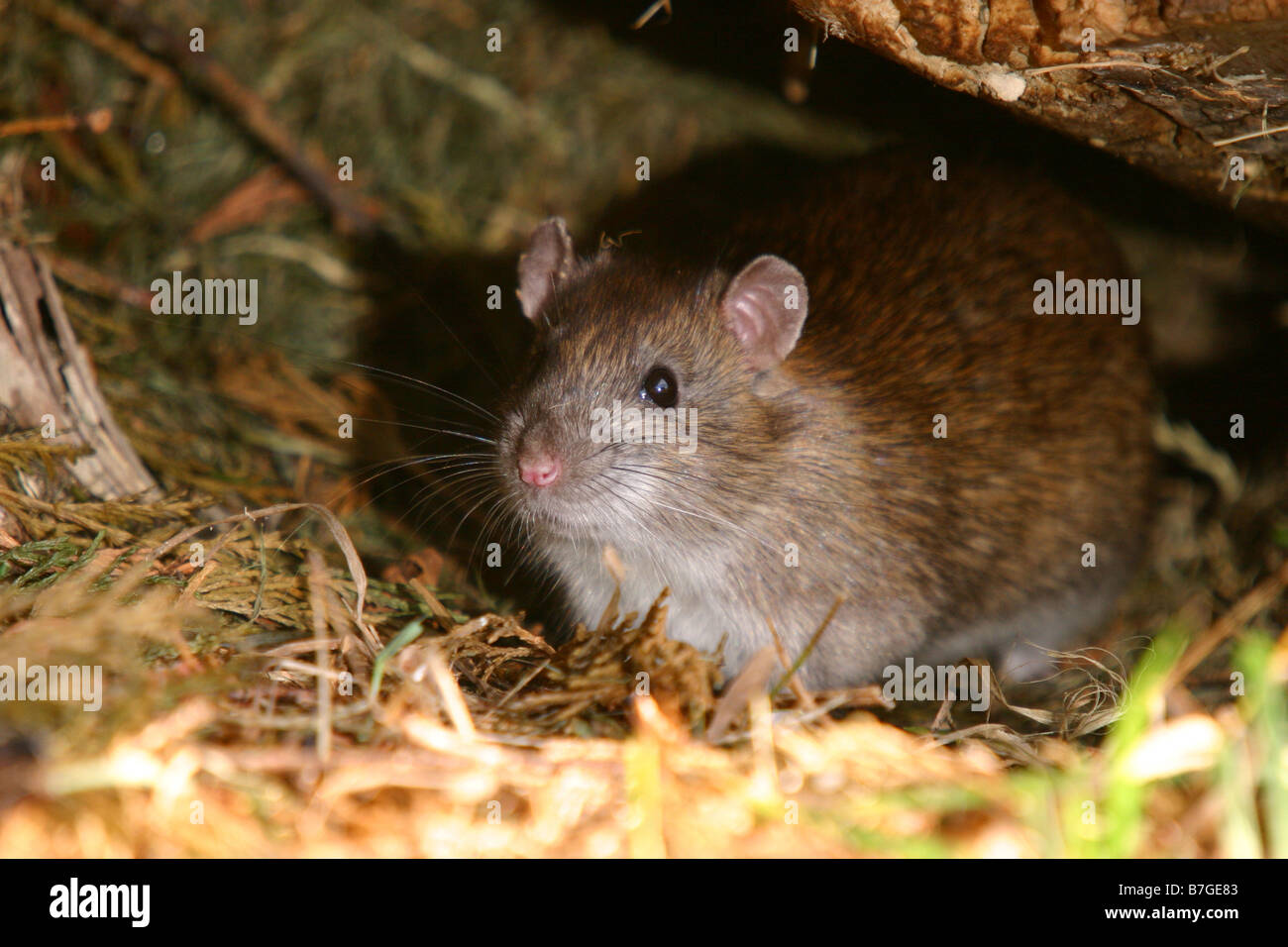 brown common rat rattus norvegicus hiding under wood pile in domestic garden - Stock Image