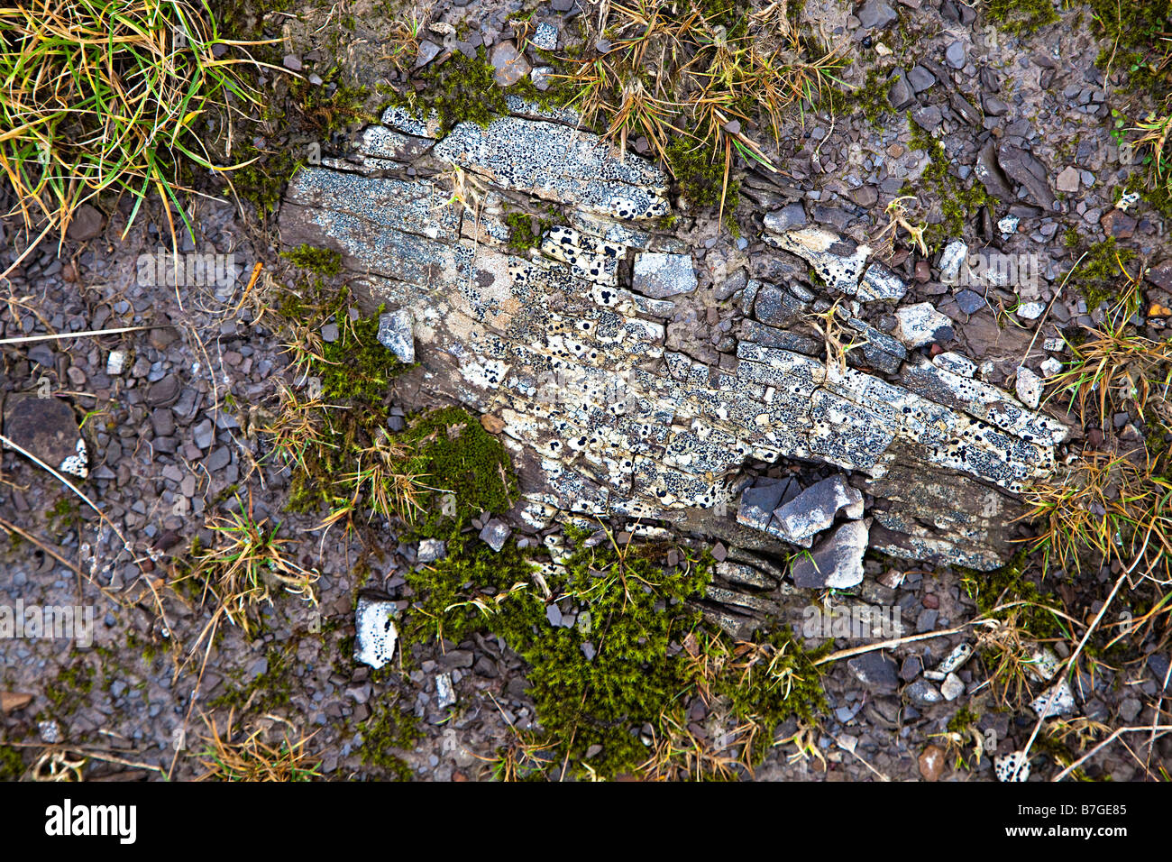 Pattern of lichens on stone with moss on upland track Gilwern HillWales UK - Stock Image
