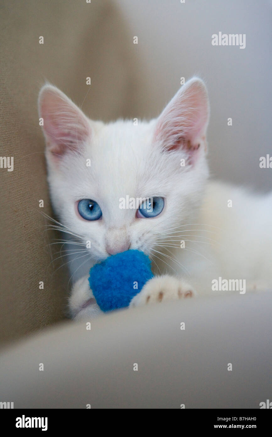 White kitten with blue eyes with a blue ball - Stock Image